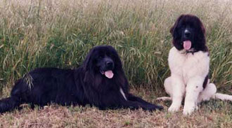 Gray Newfoundland and Black and White(Landseer)Newfoundland relaxing at the local wildlife area.