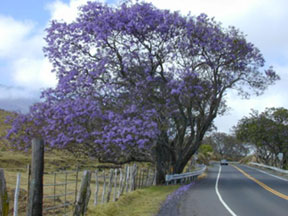 Jacaranda tree in full bloom with clusters of lavender blue flowers.