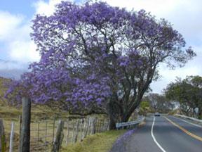 Jacaranda tree in full bloom with clusters of lavender blue flowers.