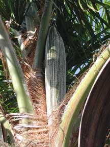 The palm seed pod developing.